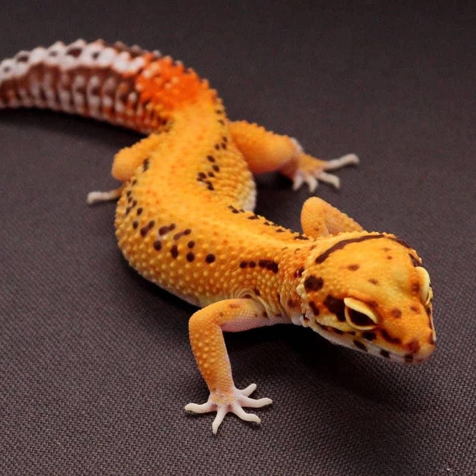 Bell Leopard Gecko