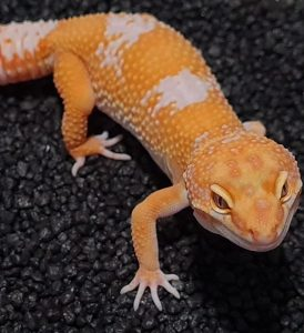 Leopard Gecko Breeder UK